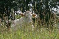 Kuh – Cow – (Wiese in Gronau)