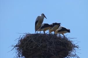 Weißstorch – White Storck – Ciconia ciconia (Hunawihr/Elsass F)