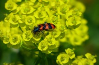 Bee Beetle – Bienenwolf – Trichodes apiarius (Meerbachtal/Odenwald)