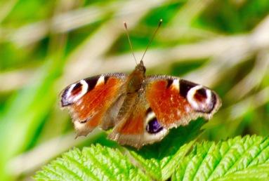 Tagpfauenauge – Peacock Butterfly – Aglais io (Lautern/Lautertal)