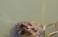 Erdkröten bei der Paarung – Toads in mating (Schmelzwassersee an der Kampenwand/Aschau)
