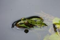 Teichfrosch – Pond Frog – rana esculenta (Englischer Garten/Eulbach i. Odw.)