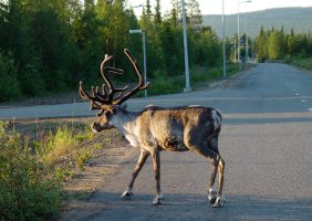 Reindeer- Rentier – Rangifer tarandus (Äkäslompolo/Finnland)