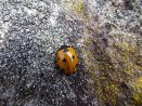 Marienkäfer – Ladybug(Ladybird/Ladybeetle) – Coccinellidae (Wasserkuppe/Rhön)