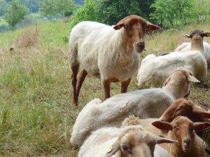 Hausschafe – Sheep – Ovis gmelini aries (Starkenburg/Heppenheim)