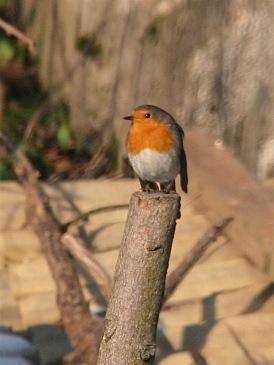 Rotkehlchen – European robin – Erithacus rubecula