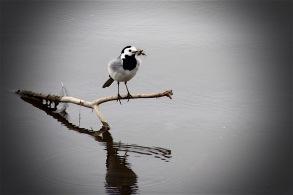 Bachstelze mit Eintagsfliegen - Chiemsee