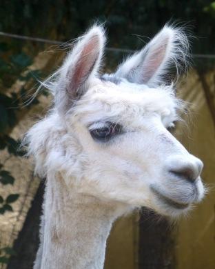 Lama – Llama – Lama glama (Bergtierpark/Erlenbach)