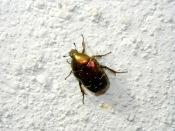 Goldkäfer(Großer Rosenkäfer) – Gold bug – Protaetia aeruginosa