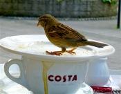 House sparrow – Haussperling – Passer domesticus (High Street /Exeter)