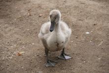 Ugly duck – Cygnus olor – Insel Mainau/Bodensee