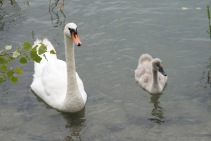 Höckerschwan – Mute swan – Cygnus olor – Insel Mainau/Bodensee
