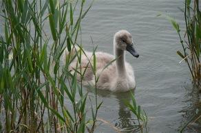 (Höckerschwan –Ugly duck – Cygnus olor – Insel Mainau/Bodensee)