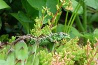 Zauneidechse – Sand lizard – Lacerta agilis (Meerbachtal/Bensheim)