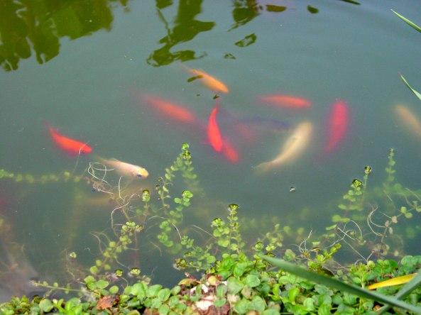 Goldfische DSC01269