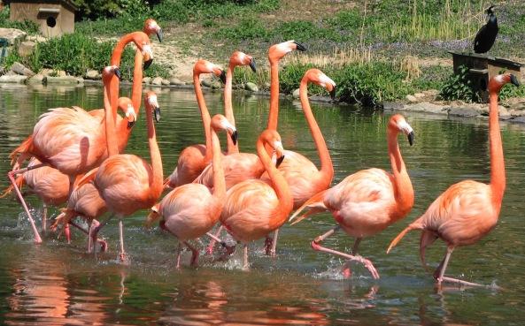 Flamingos IMG_2515